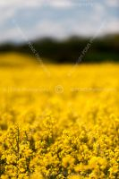 0781-rape_seed_fields_dorset