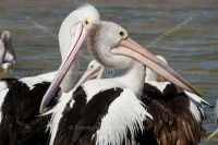 1559-wildlife_photography_pelicans