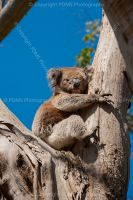 3805_koala_in_gum_tree_australia