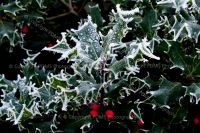 3822-hoar_frost_on_holly_leaves