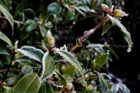 3832-hoar_frost_on_shrub_buds
